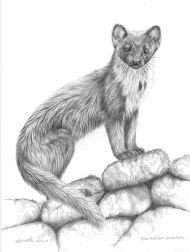 Clashmore Pine Marten